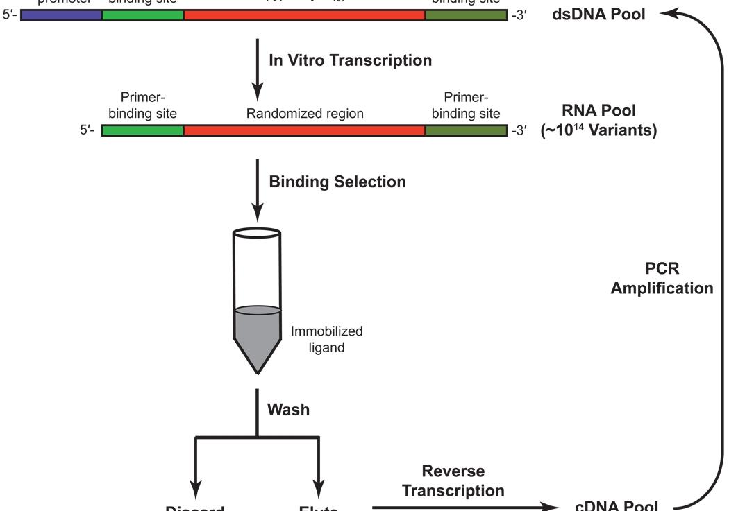 Cápsula Biotecnológica: riboswitches