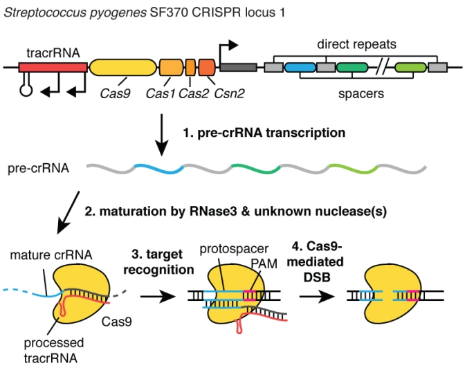 CRISPR Processing en genome-engineering.org